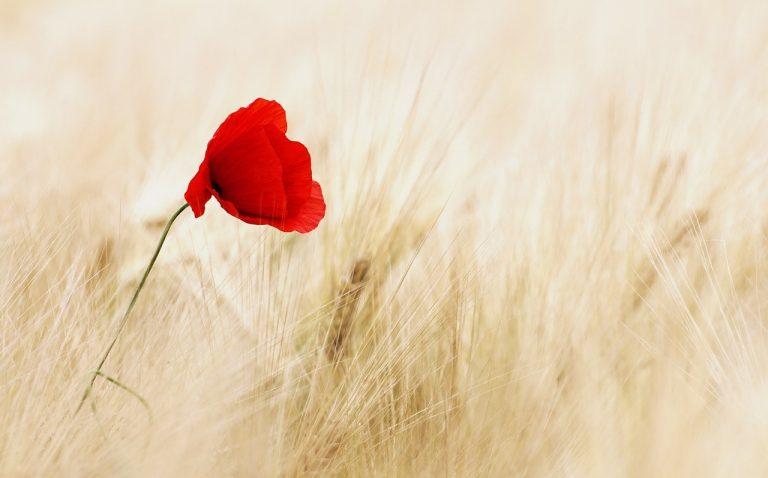 amapola roja sobre campo de trigo