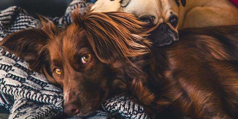 perro acotado mirando a su dueño