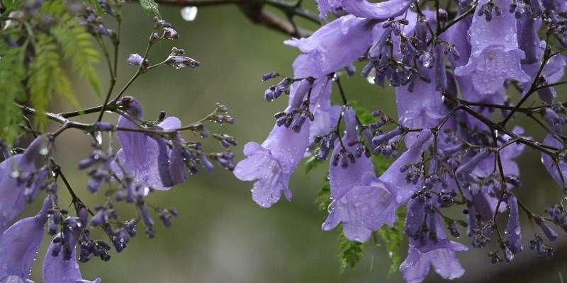 Arbol con flor de jacaranda